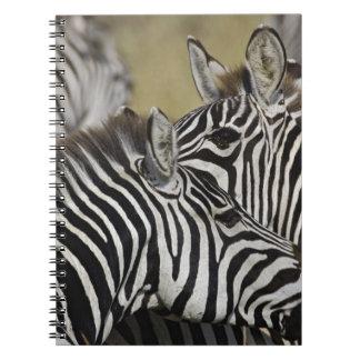 Burchelli's Zebra, Equus burchellii, Masai Mara, 3 Notebooks