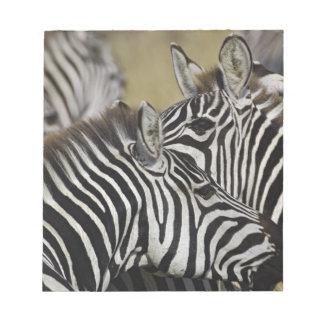 Burchelli's Zebra, Equus burchellii, Masai Mara, 3 Note Pads