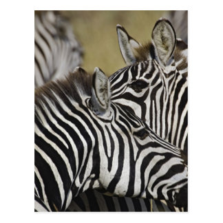 Burchelli's Zebra, Equus burchellii, Masai Mara, 3 Postcard