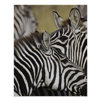 Burchelli's Zebra, Equus burchellii, Masai Mara, 3 Poster