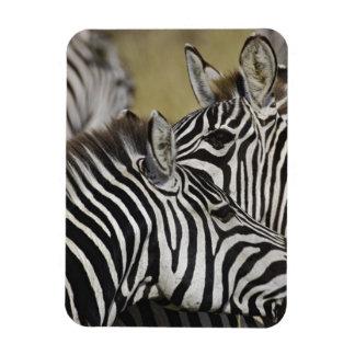Burchelli's Zebra, Equus burchellii, Masai Mara, 3 Magnets