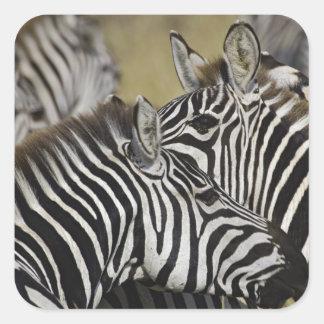 Burchelli's Zebra, Equus burchellii, Masai Mara, 3 Stickers
