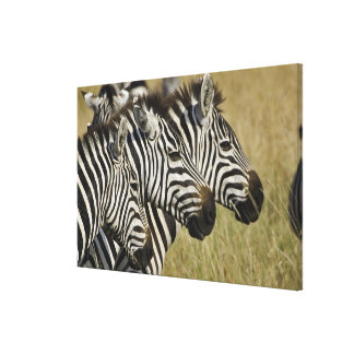 Burchelli's Zebra, Equus burchellii, Masai Mara, 4 Canvas Prints