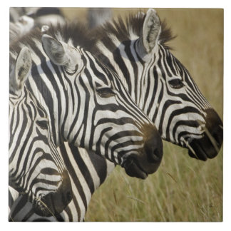 Burchelli's Zebra, Equus burchellii, Masai Mara, 4 Large Square Tile