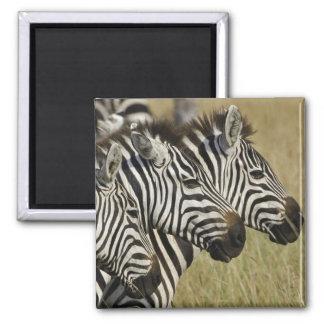 Burchelli's Zebra, Equus burchellii, Masai Mara, 4 Refrigerator Magnet