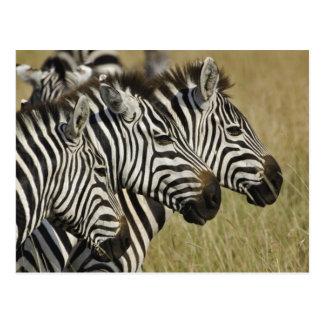 Burchelli's Zebra, Equus burchellii, Masai Mara, 4 Postcard