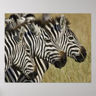 Burchelli's Zebra, Equus burchellii, Masai Mara, 4 Poster
