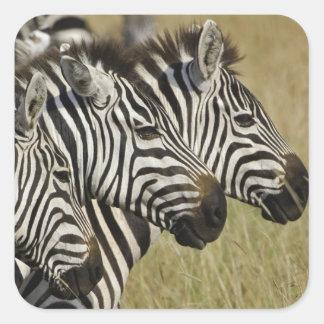 Burchelli's Zebra, Equus burchellii, Masai Mara, 4 Square Stickers