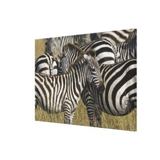 Burchelli's Zebra, Equus burchellii, Masai Mara, Canvas Print