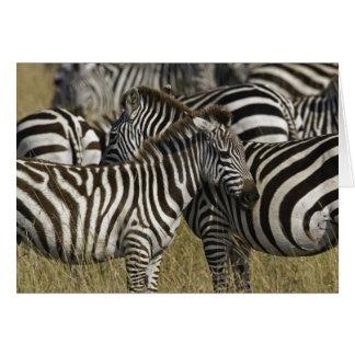 Burchelli's Zebra, Equus burchellii, Masai Mara, Card