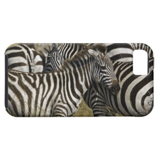 Burchelli's Zebra, Equus burchellii, Masai Mara, iPhone 5 Cases