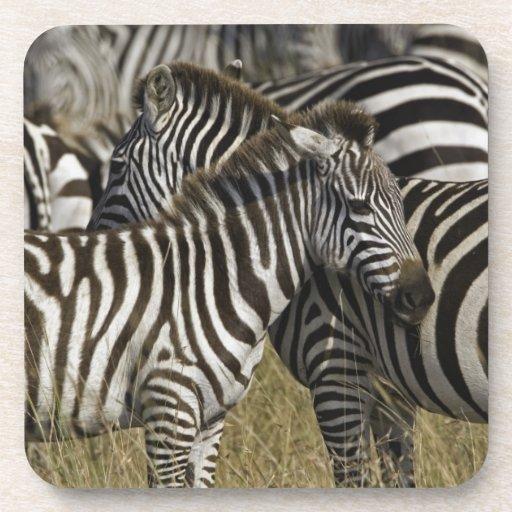 Burchelli's Zebra, Equus burchellii, Masai Mara, Beverage Coasters