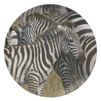Burchelli's Zebra, Equus burchellii, Masai Mara, Dinner Plate