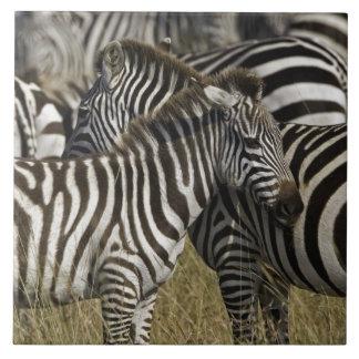 Burchelli's Zebra, Equus burchellii, Masai Mara, Large Square Tile