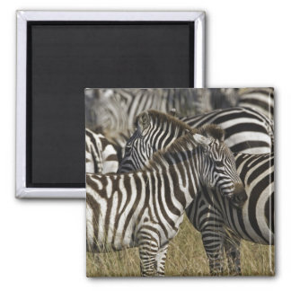Burchelli's Zebra, Equus burchellii, Masai Mara, Square Magnet