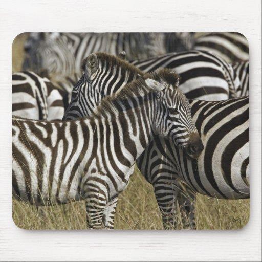 Burchelli's Zebra, Equus burchellii, Masai Mara, Mousepad