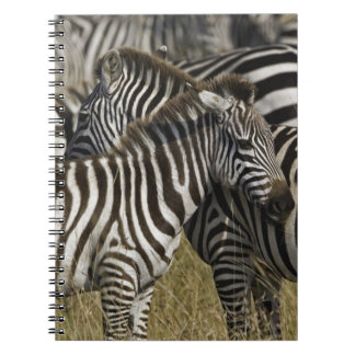 Burchelli's Zebra, Equus burchellii, Masai Mara, Notebooks