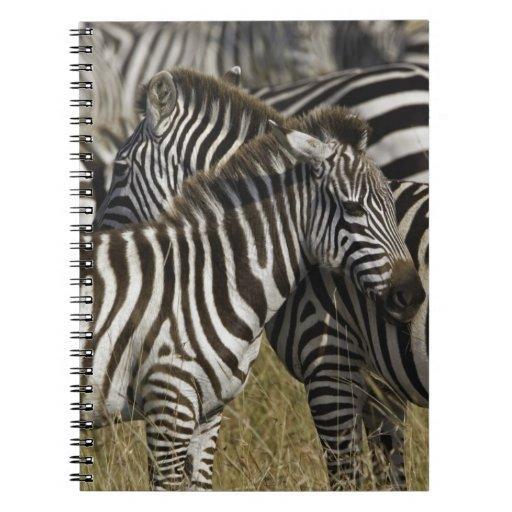Burchelli's Zebra, Equus burchellii, Masai Mara, Spiral Notebook