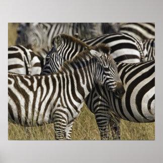 Burchelli's Zebra, Equus burchellii, Masai Mara, Poster