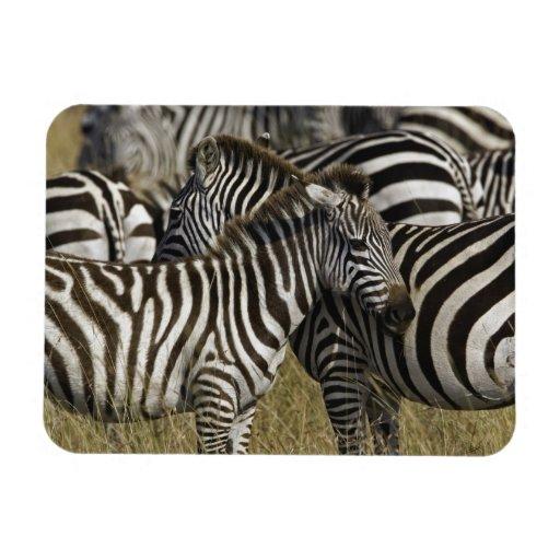 Burchelli's Zebra, Equus burchellii, Masai Mara, Magnet