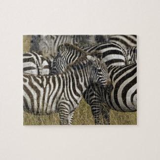 Burchelli's Zebra, Equus burchellii, Masai Mara, Jigsaw Puzzles