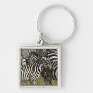 Burchelli's Zebra, Equus burchellii, Masai Mara, Silver-Colored Square Key Ring