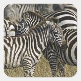 Burchelli's Zebra, Equus burchellii, Masai Mara, Square Sticker