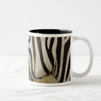 Burchelli's Zebra, Equus burchellii, Masai Mugs