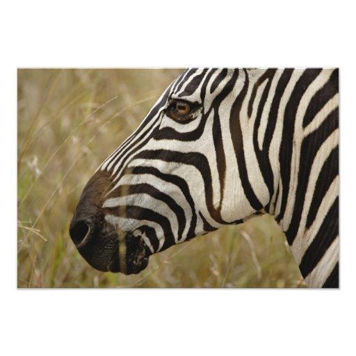 Burchelli's Zebra, Equus burchellii, Masai Photo Print