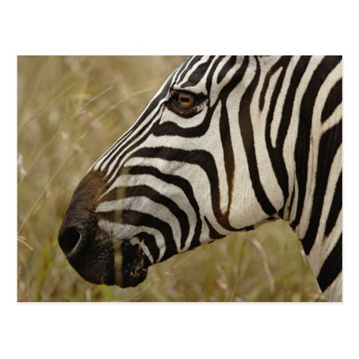 Burchelli's Zebra, Equus burchellii, Masai Post Card