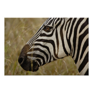 Burchelli's Zebra, Equus burchellii, Masai Poster