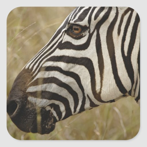 Burchelli's Zebra, Equus burchellii, Masai Sticker