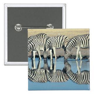 Burchells Zebra (Equus burchelli) drinking at 15 Cm Square Badge