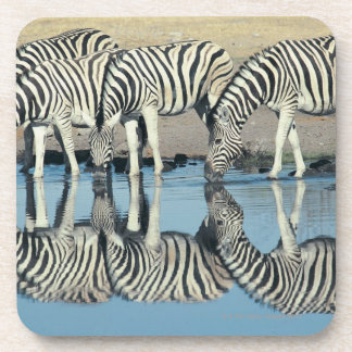 Burchells Zebra (Equus burchelli) drinking at Coaster