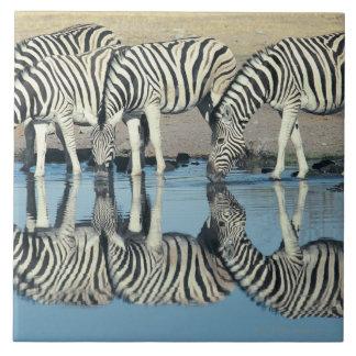 Burchells Zebra (Equus burchelli) drinking at Large Square Tile