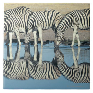 Burchells Zebra (Equus burchelli) drinking at Tile