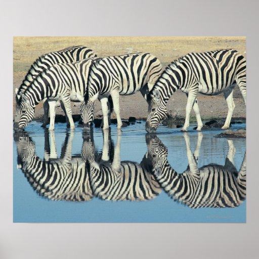 Burchells Zebra (Equus burchelli) Print
