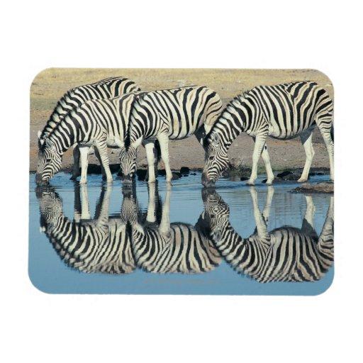 Burchells Zebra (Equus burchelli) Rectangle Magnets