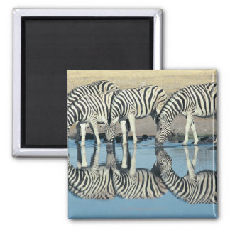 Burchells Zebra (Equus burchelli) Square Magnet