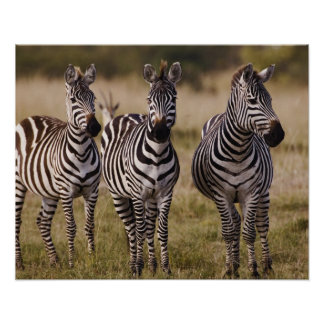 Burchell's Zebra, Equus burchellii, Masai Mara, Poster