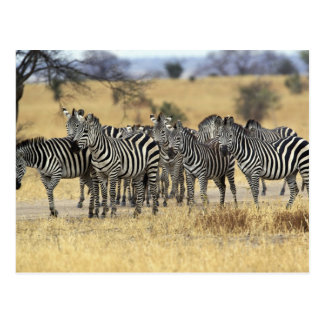 Burchell's Zebra, Equus burchellii, Tarangire Postcard