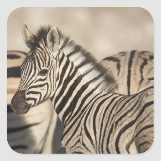 Burchell's Zebra (Equus quagga burchellii) foal Square Sticker