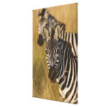 Burchell's Zebra in tall summer grass, Masai Gallery Wrap Canvas