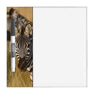 Burchell's Zebra in tall summer grass, Masai Dry Erase Board