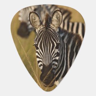 Burchell's Zebra in tall summer grass, Masai Pick