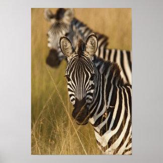 Burchell's Zebra in tall summer grass, Masai Poster