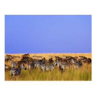 Burchell's Zebras and Wildebeest in tall Postcard