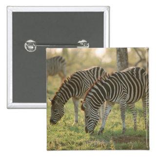 Burchell's Zebras, Equus burchelli grazing, 15 Cm Square Badge
