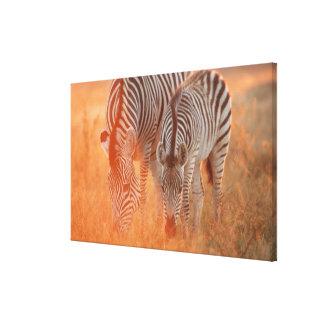 Burchell's Zebras, Equus burchelli grazing at Canvas Print