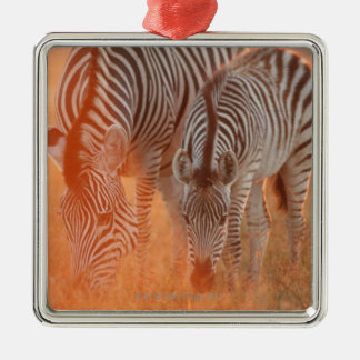 Burchell's Zebras, Equus burchelli grazing at Christmas Ornament